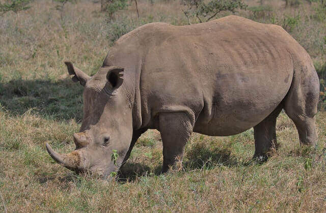 brown rhino eating grass in the wild