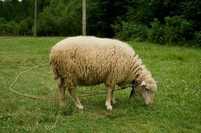 a domestic sheep grazing