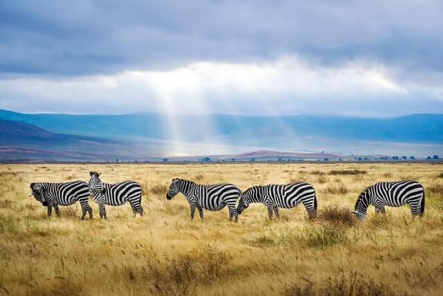 five zebras eating in wilderness