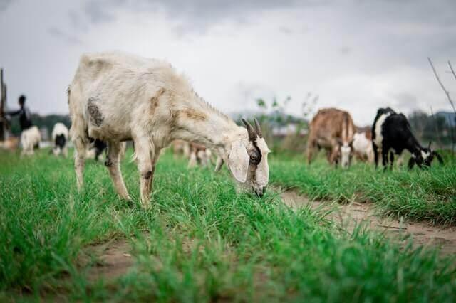 goats grazing green grass