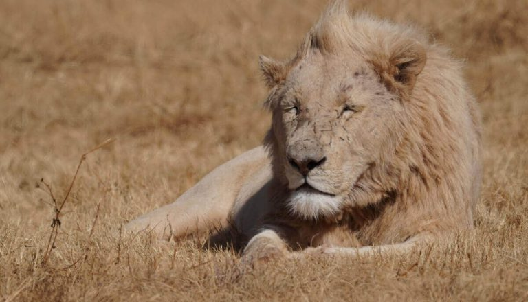 Do Lions Eat Grass? [Yes! Here's Why]