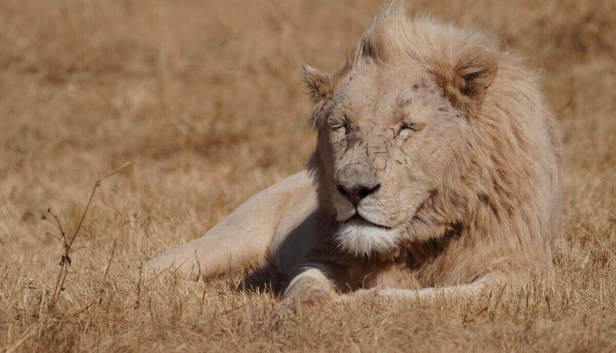 do lions eat grass