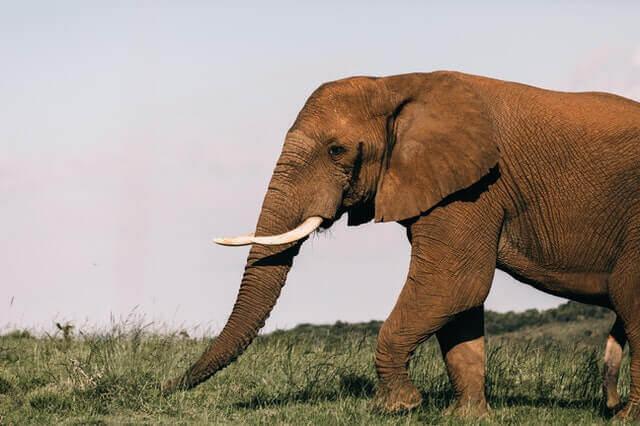 elephant eating fresh green grass