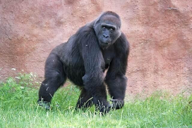 knuckle-walking gorilla