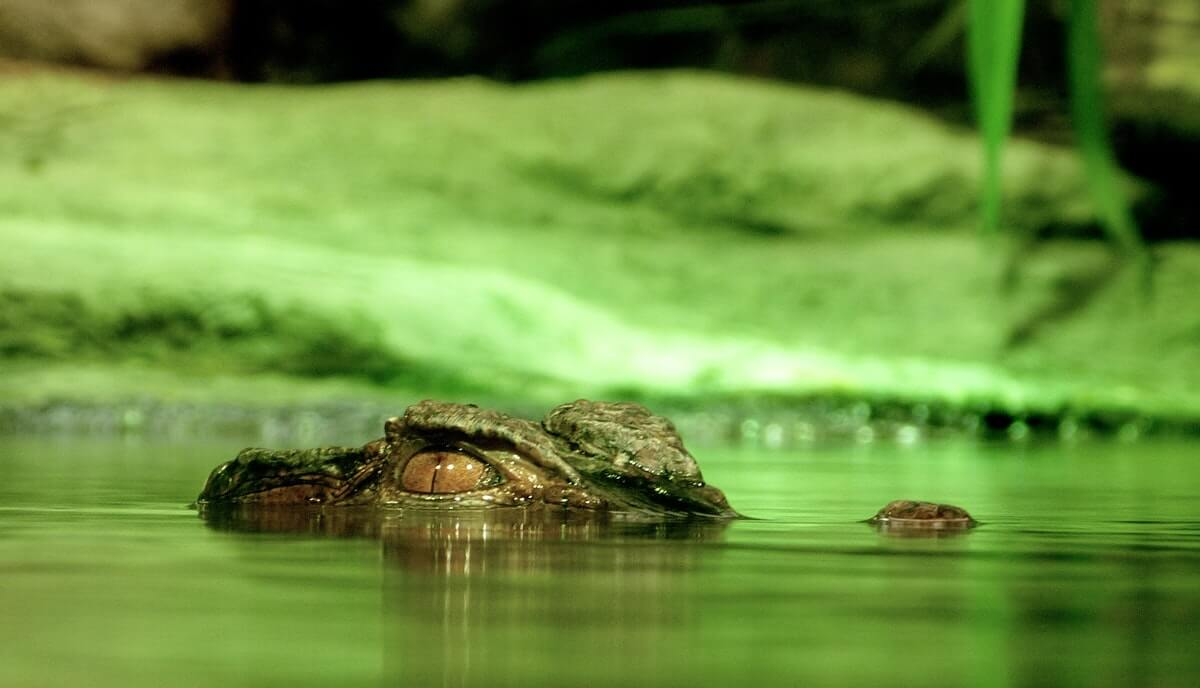 are crocodiles lizards