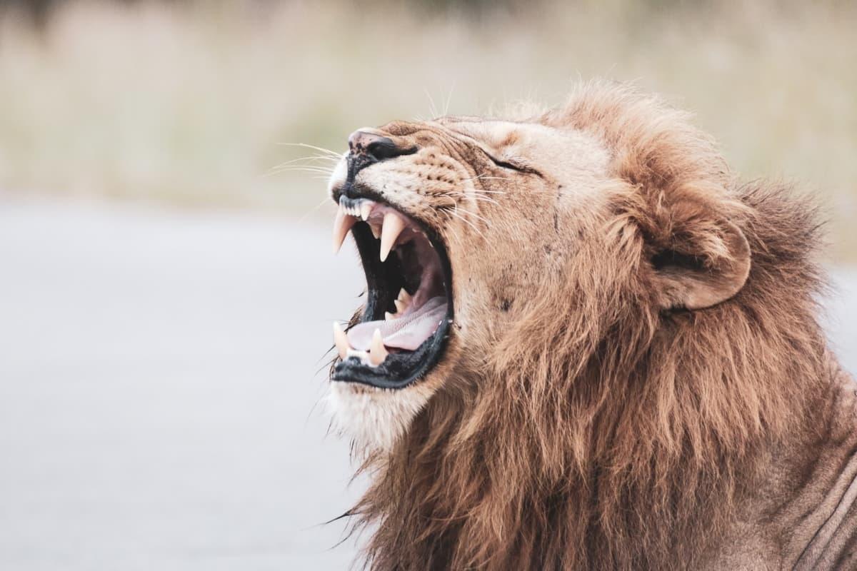 what eats a lion