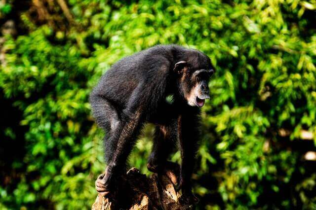chimpanzee standing on a brown tree branch