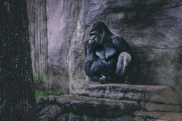 a big black gorilla sitting in a cave