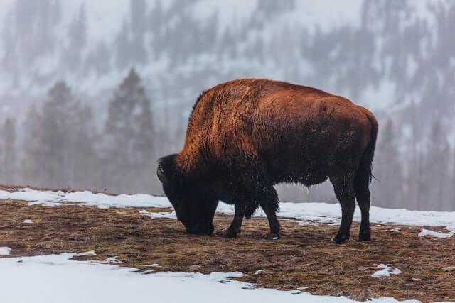 big brown bison in a mountain eats grass