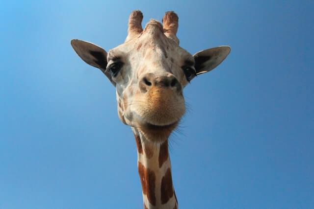 close up giraffe watching in camera