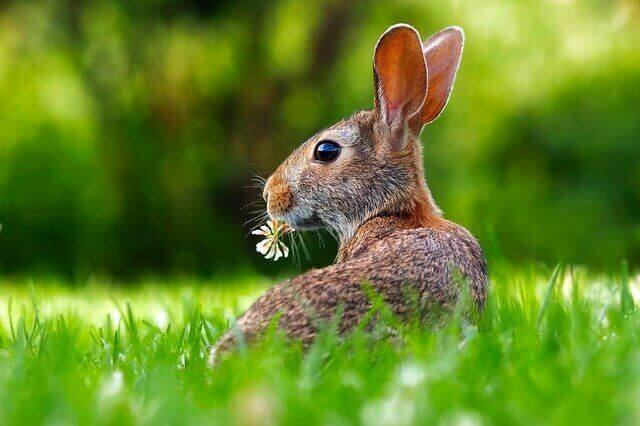 big ear rabbit eating grass
