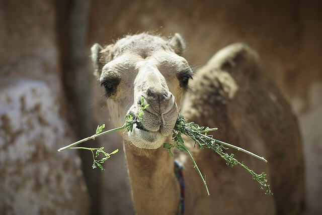 zoomed photo of a camel eating grass