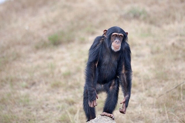 chimpanzee that walk on two legs