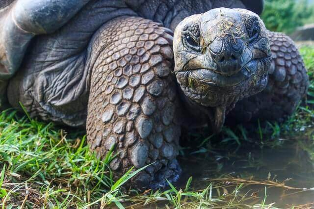 the giant tortoises in a shallow water