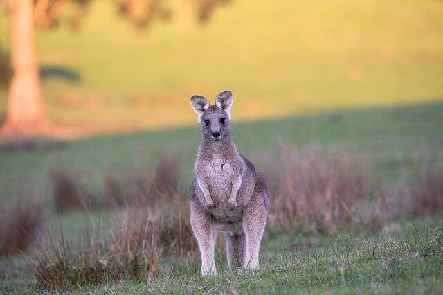 bipedal kangaroo