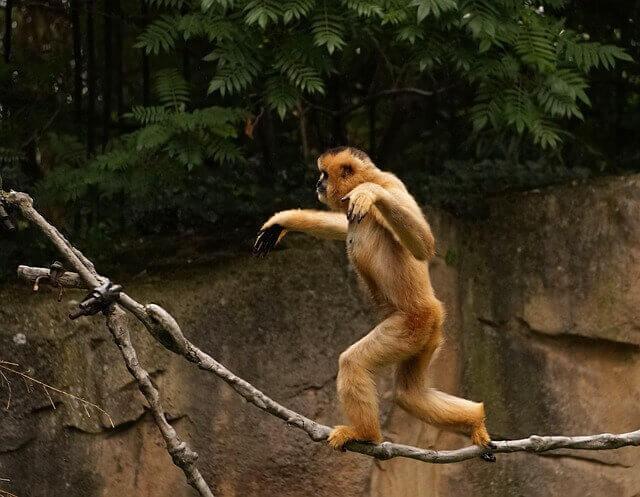 gibbon walking on two legs