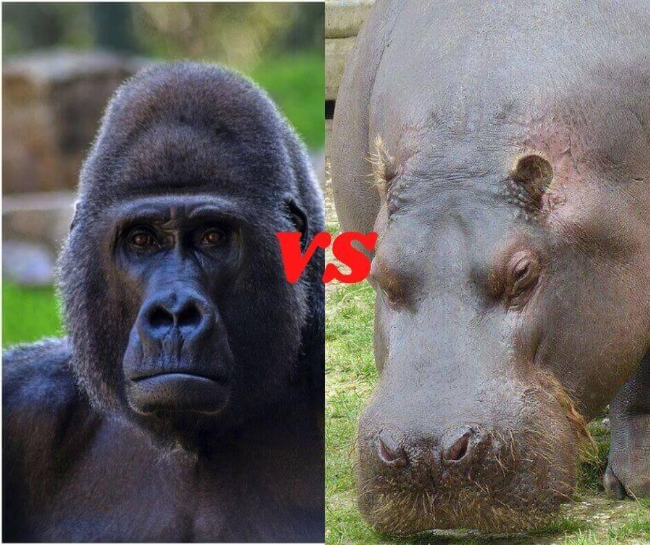 gorilla vs hippo