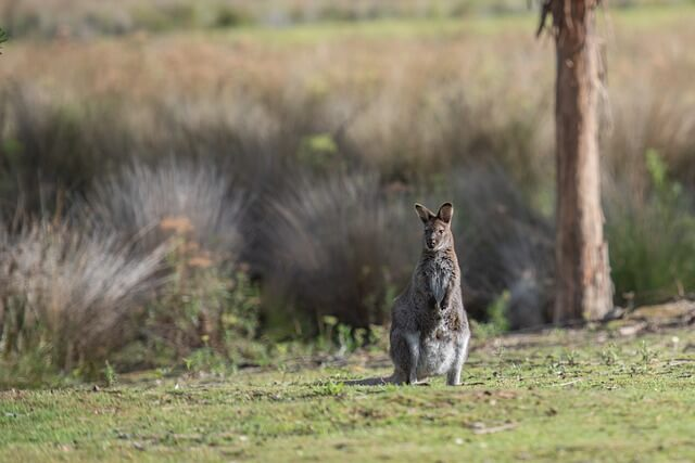 bipedal wallaby