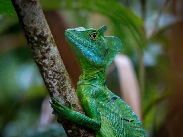 lizard that run on two legs