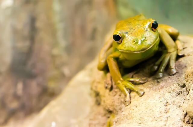 frog without ears