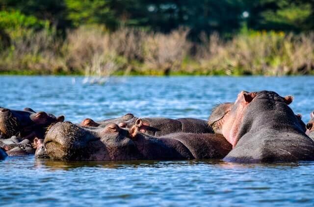 hippo attack and defense