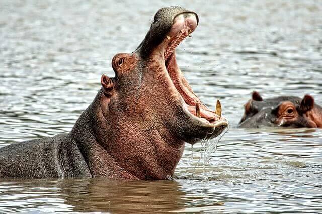 hippo bite force