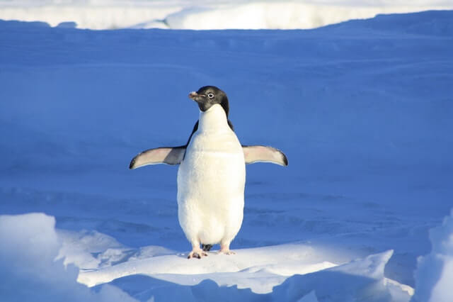 penguin waddle on two legs