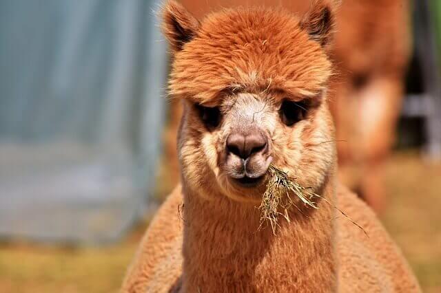 brown alpaca that chew on grass