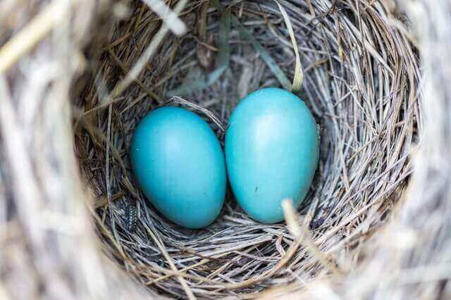 can you eat robin eggs