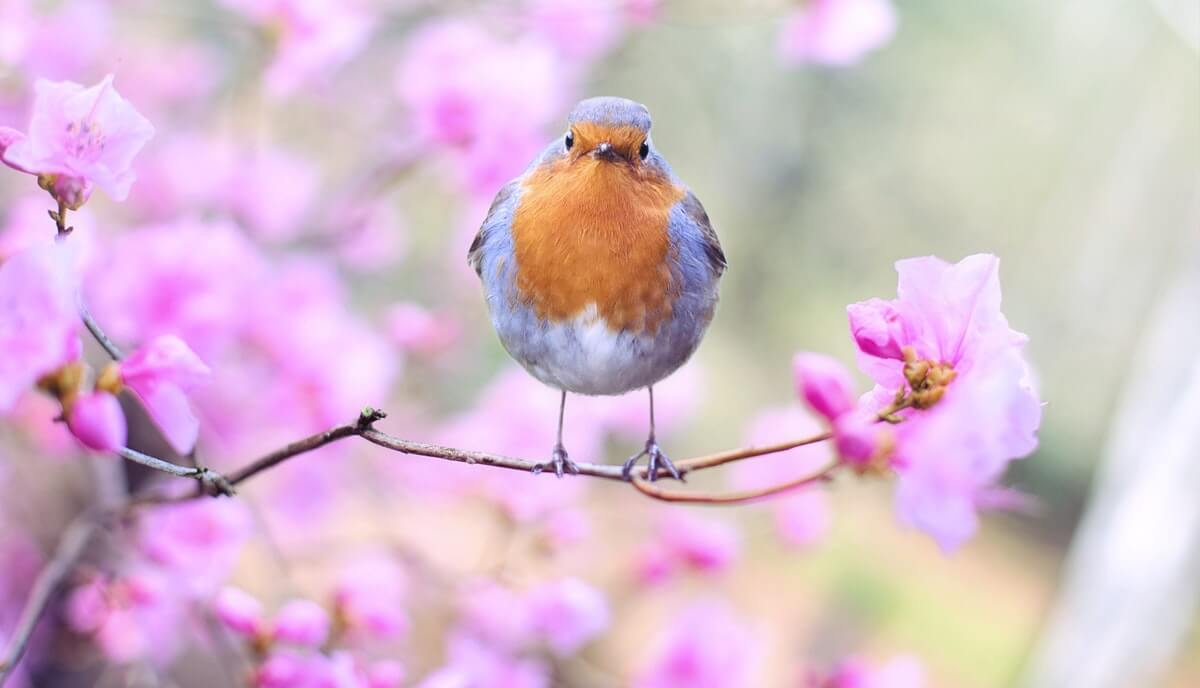 can you eat robins