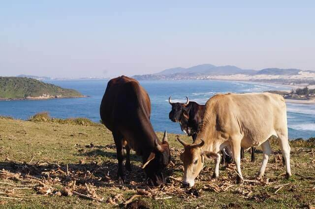 group of three cows grazing