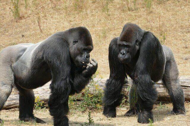 gorilla attack and defense