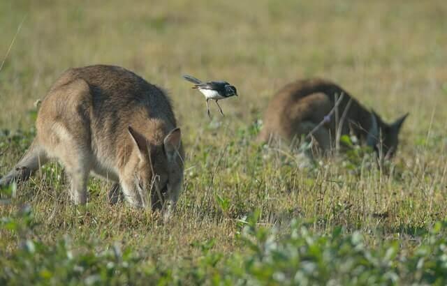 two wallabies eating grass