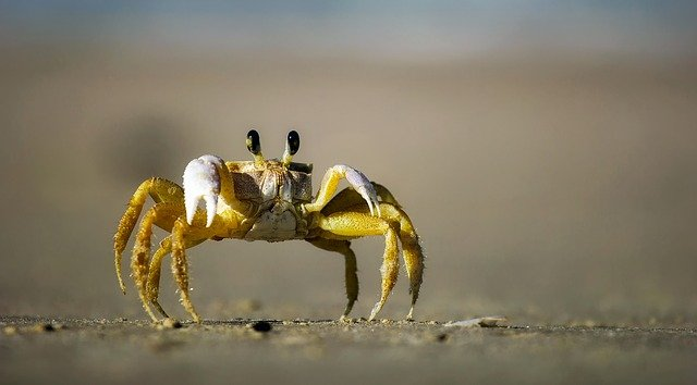 crab without ears