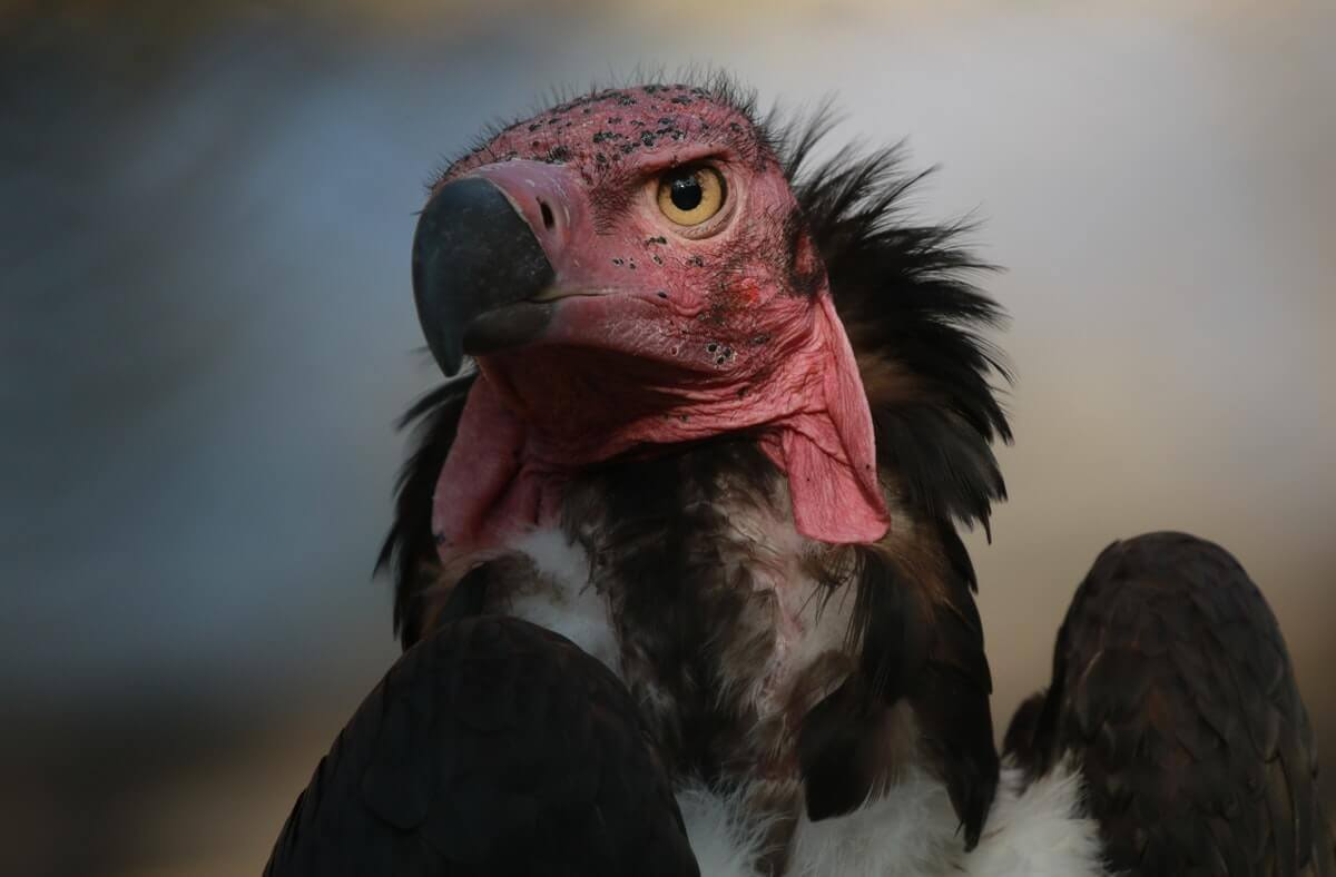 can you eat vultures
