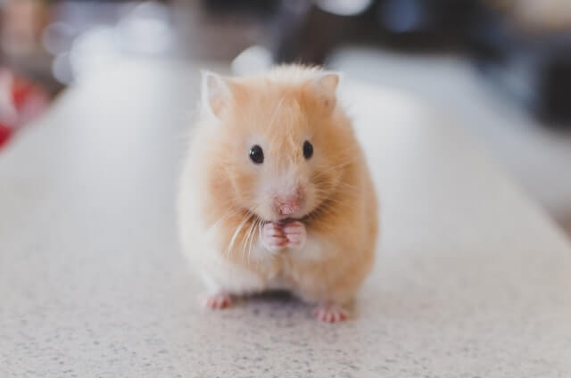a brown hamster standing with crossed arms
