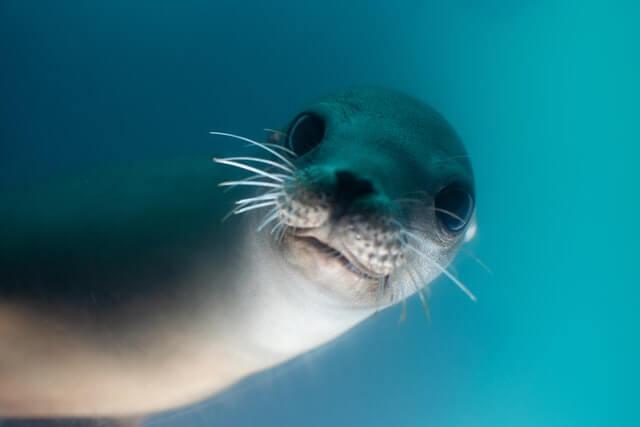 a cute gray seal underwater