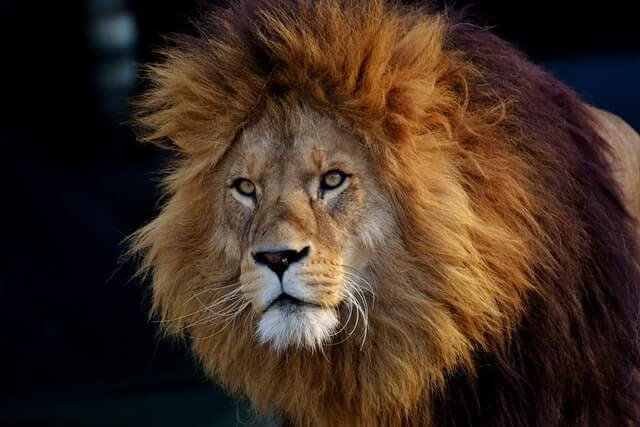 a male lion with large brown mane