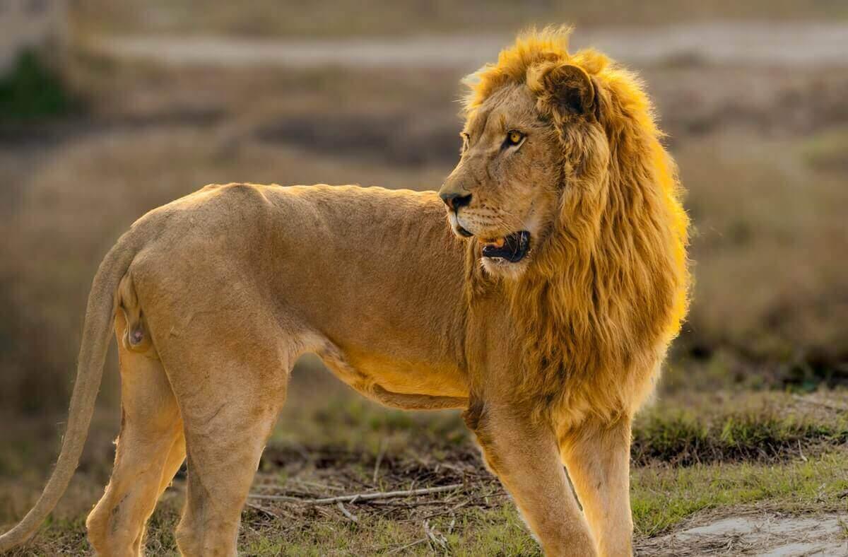 do lions hibernate