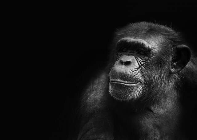 photo of a chimp on a black surface