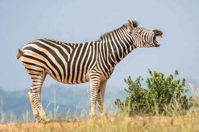 black and white zebra standing in the wild