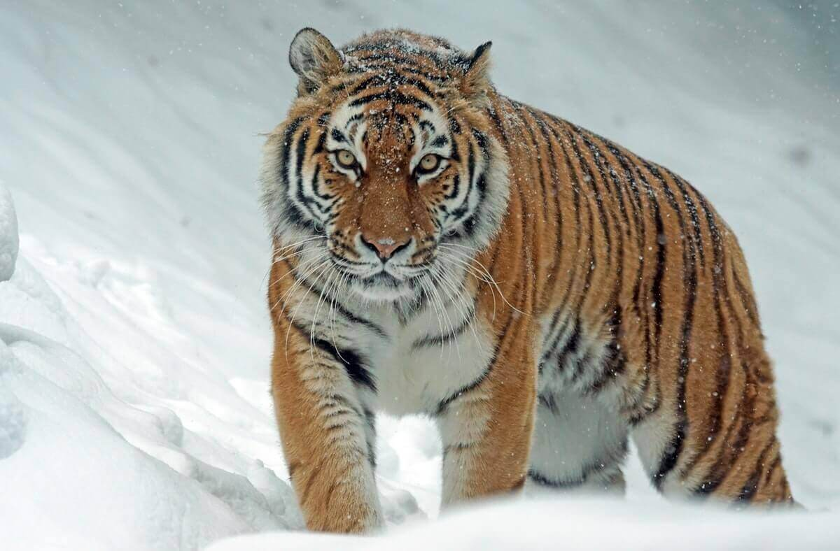 how strong are tigers