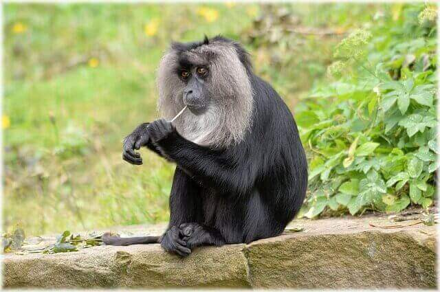 black lion-tailed macaque chewing a small branch