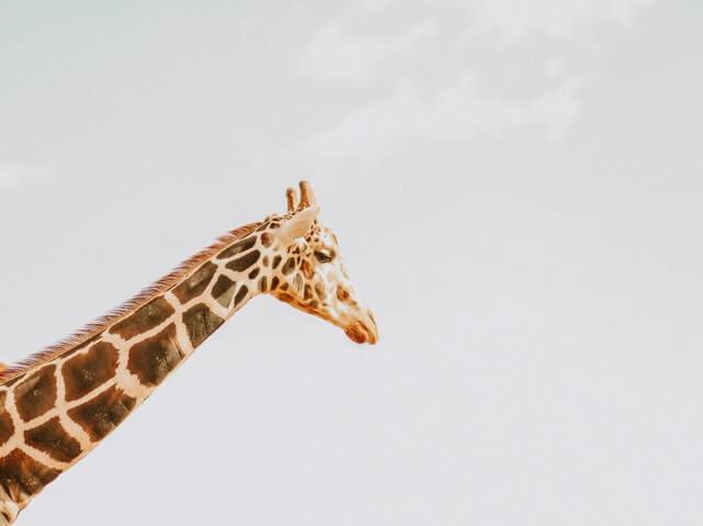 brown and black giraffe under white clouds