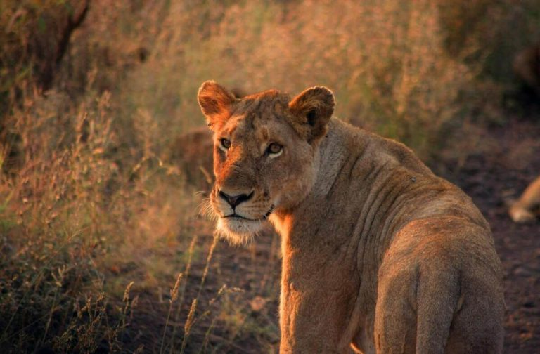 Are Lions Smart? [Here's the Truth]