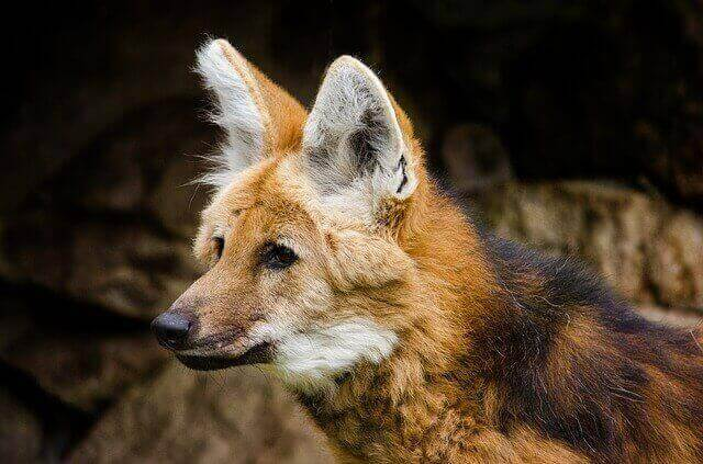 brown maned wolf with white ears and black back hair