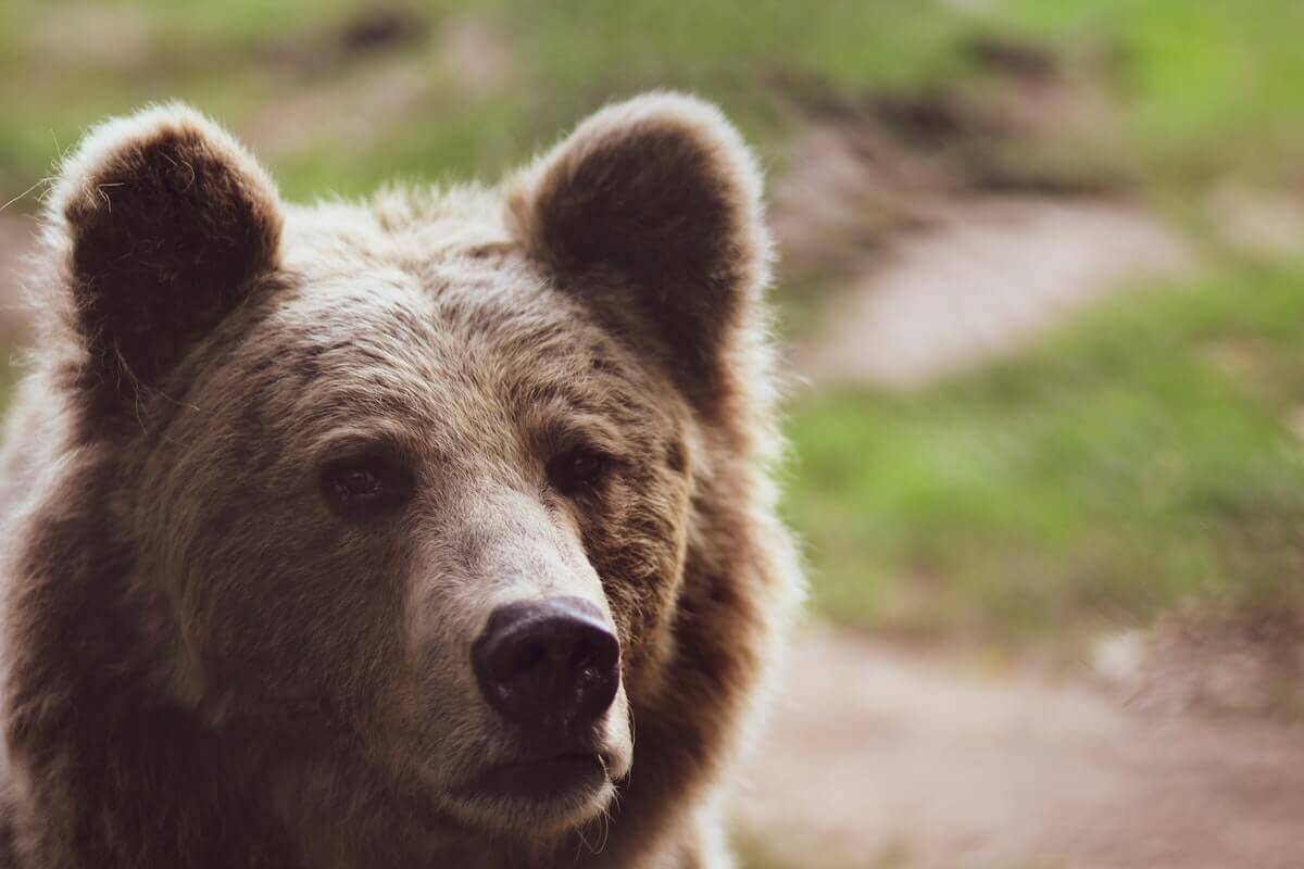 can bears be domesticated