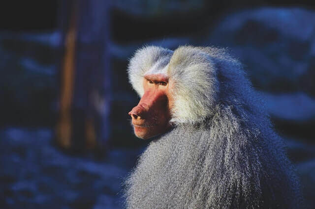 white baboon looking to the side