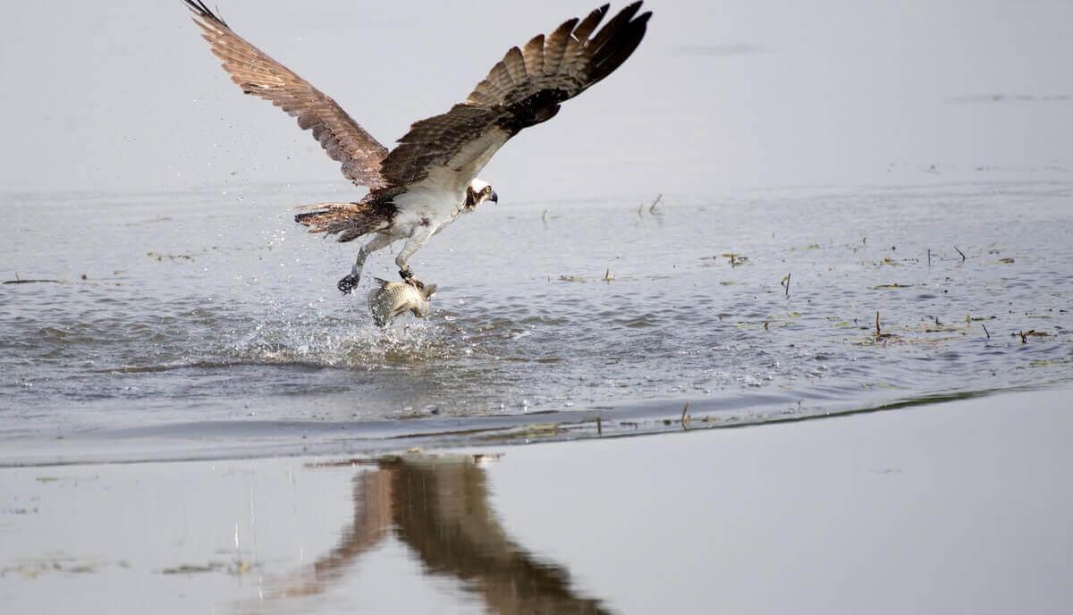 ospreys - animals that eat fish