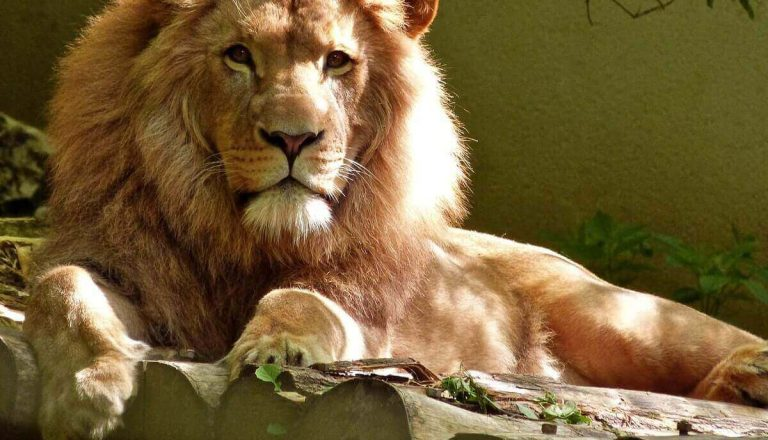 How Much Does a Lion Cost? Well, a Lot!